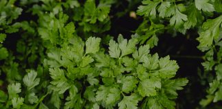 coriander health benefits